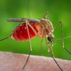 Heavy Rain And Increasing Temperatures Triggers Mosquito Control Activities